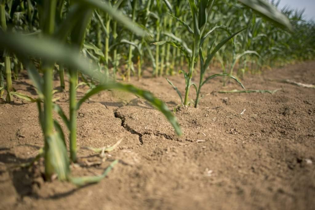 Az életmentő csapadék után érkező lehűlés halálos lehet a kukoricának