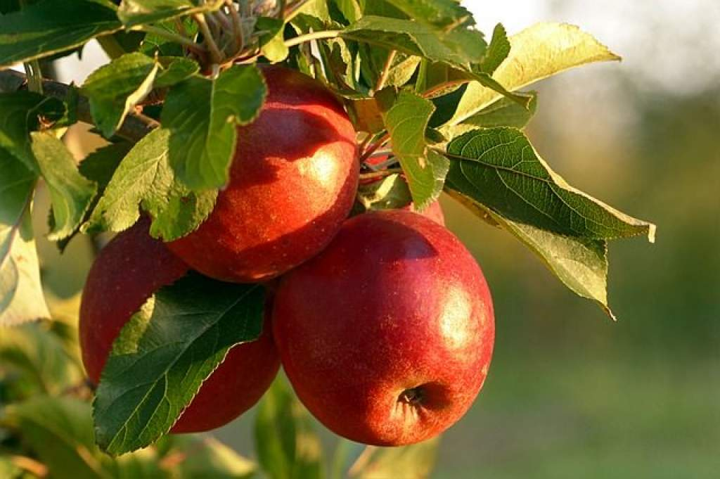 Siralmas lesz az idei almatermés