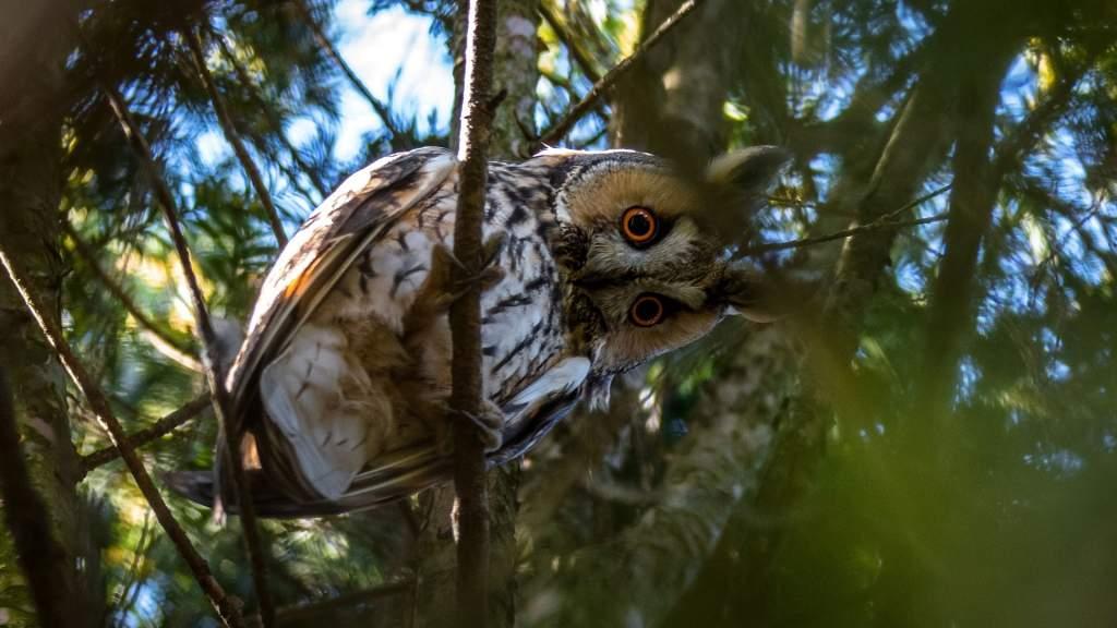 Az erdei fülesbagoly lesz az év madara