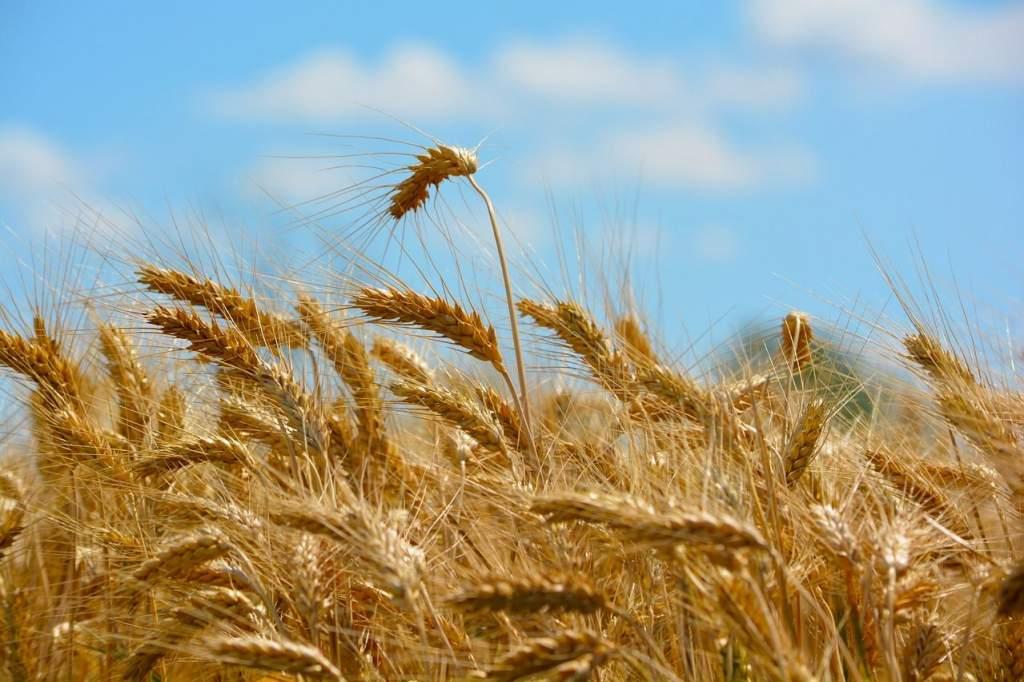 Véget ért a nyári kalászosok és a repce aratása