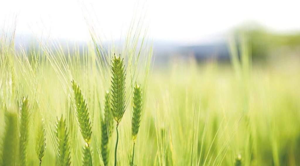 Szárazság, viharok és fertőzések nehezítették a gabonatermesztőket