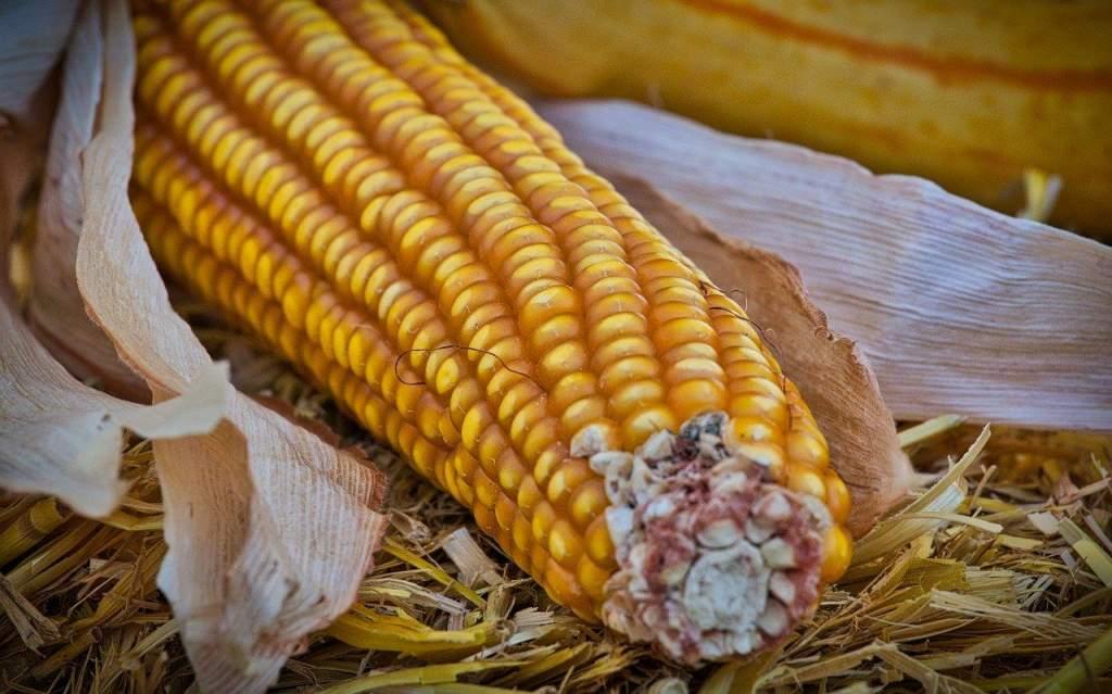 Nyolcmillió tonna kukorica termett