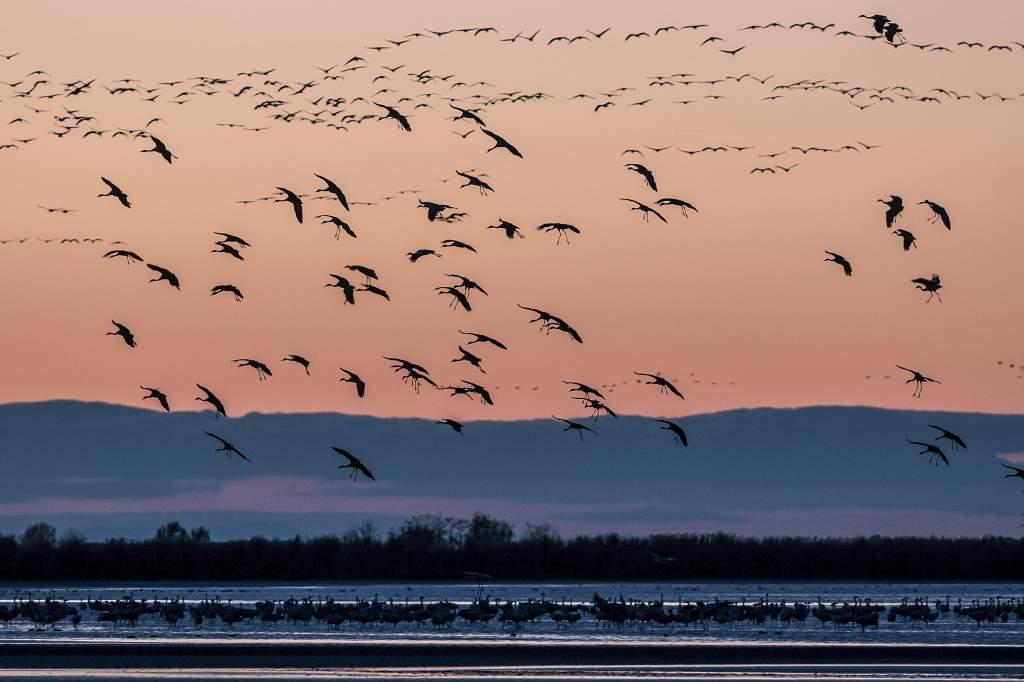 Rekordszámú darués különleges kóborló fajok a szegedi Fehér-tónál