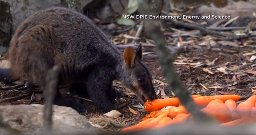 Helikopterről etetik az állatokat Ausztráliában