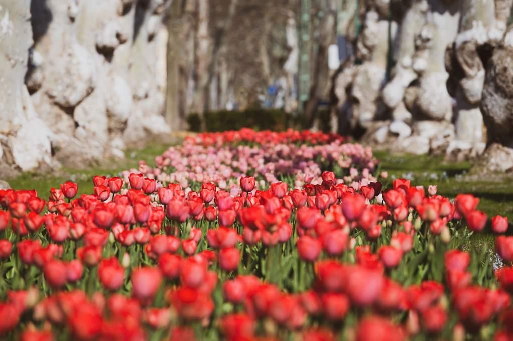 Tulipánmező a százéves platánok árnyában - képgalériával