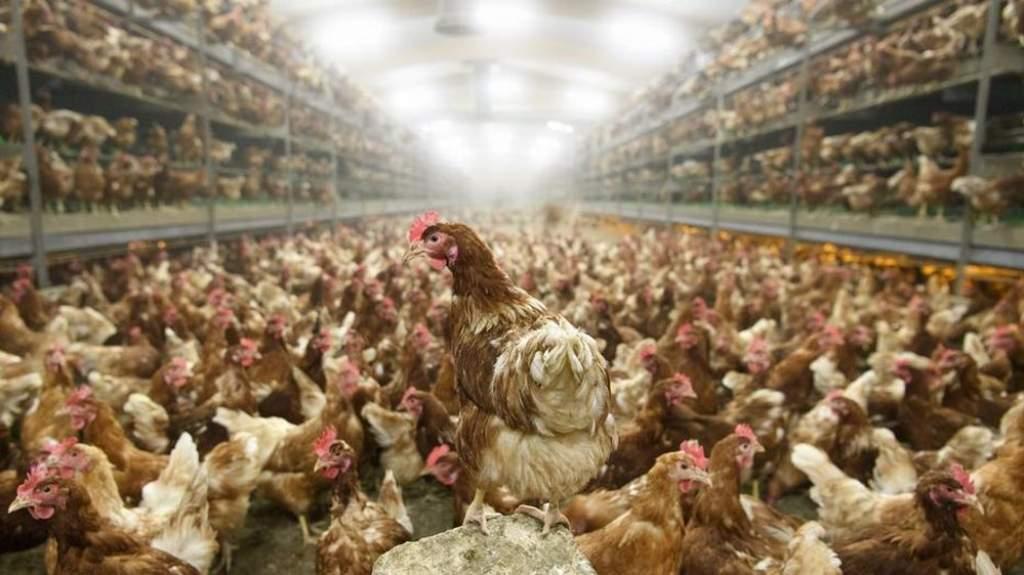Tovább támad a madárinfluenza