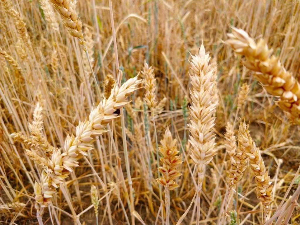 Az EU-ban is rossz lesz a gabonatermés