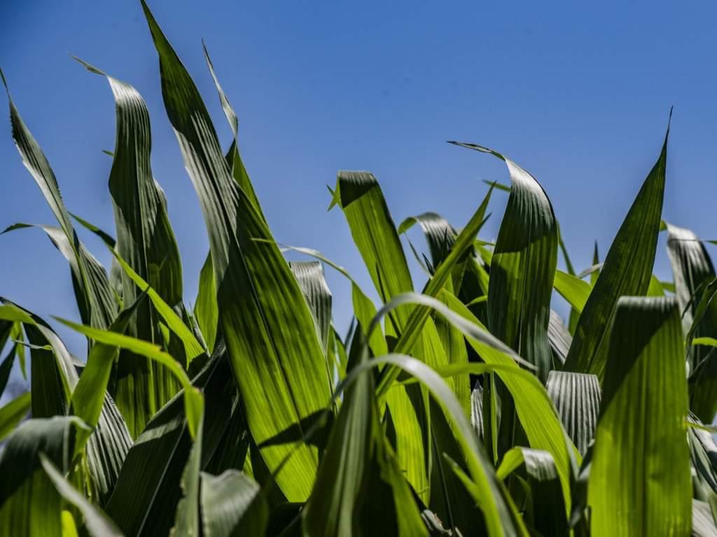Elkékült májusban a kukorica