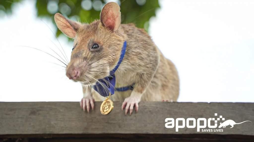 Nem vicc: Aranymedált kapott a hős patkány – videóval