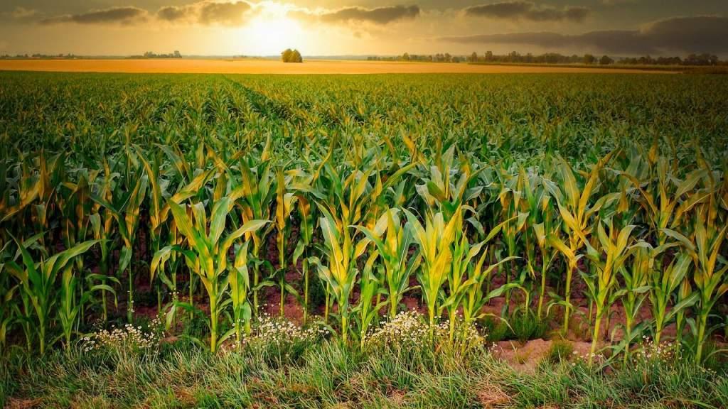 Hasznos szakmai kiadvány kukoricatermesztők számára