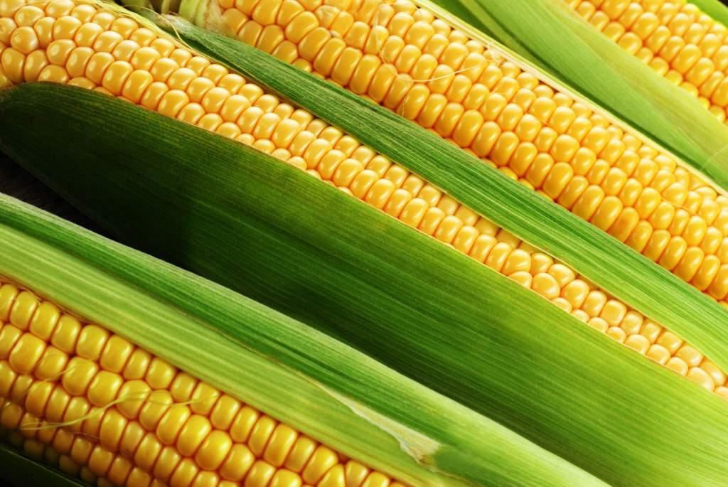 Idén is felmérték a kukoricákat