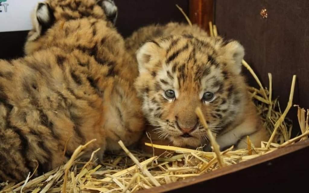 Tigriskölykök születtek a Kecskeméti Vadaskert történetében először