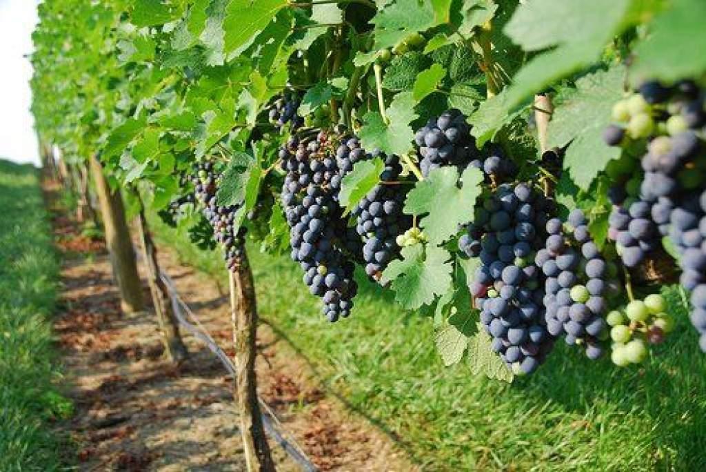 Szigorodik a szőlőtermesztésről és borgazdálkodásról szóló törvény