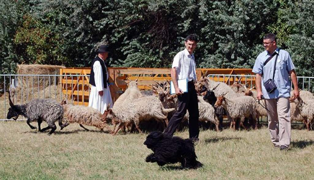 Pásztorkutyák versenyeztek a pusztában