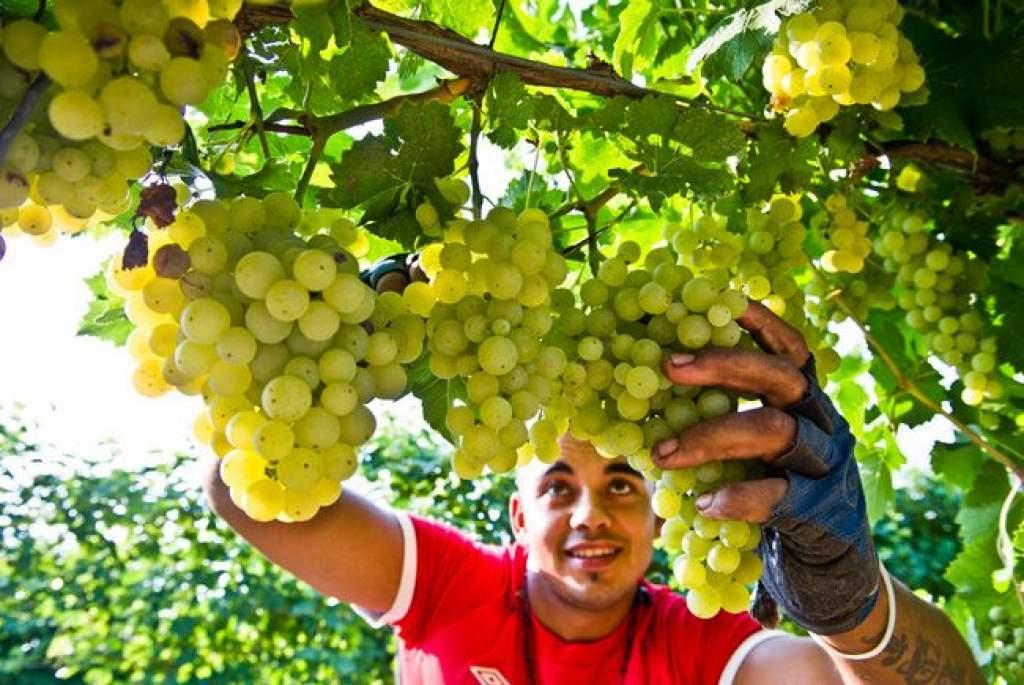 Az Irsai Olivért szüretelik a szőlőkben