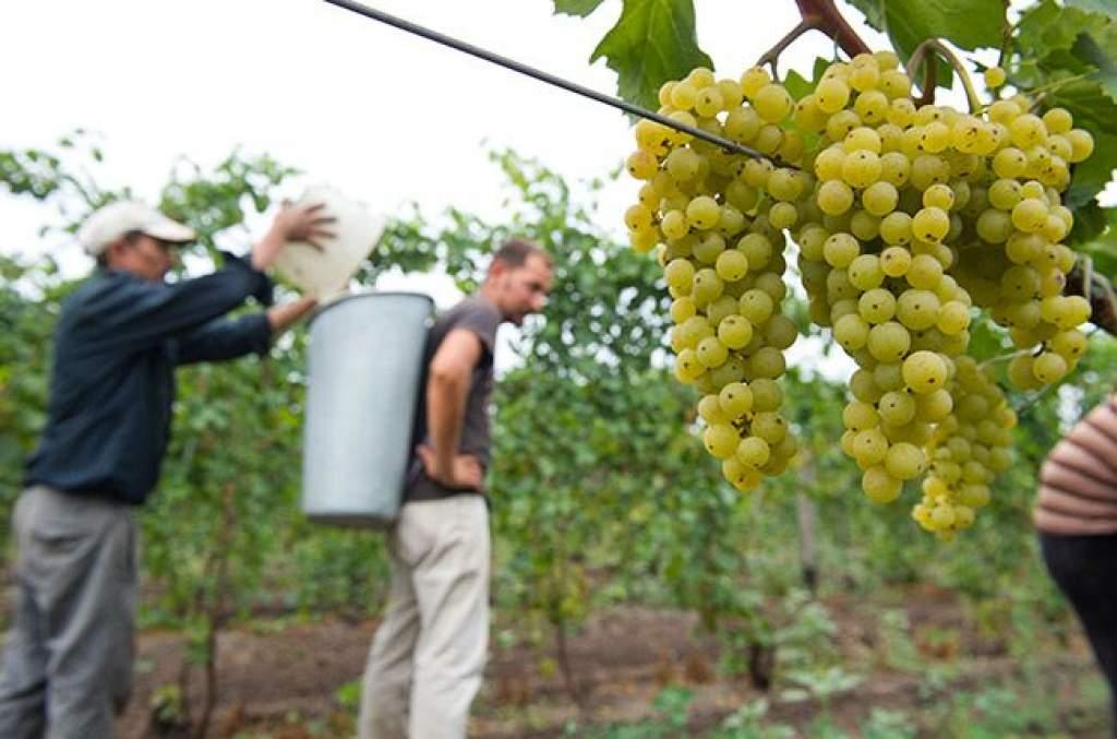 Nyolc tonna szőlő hektáronként