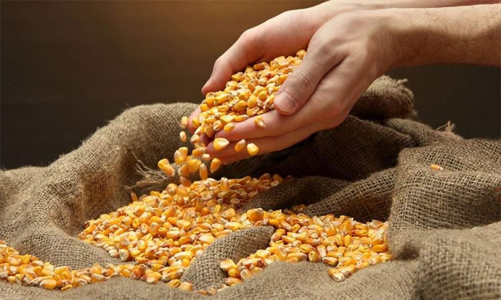 Kiemelten ellenőrzik a kukorica vetőmagokat