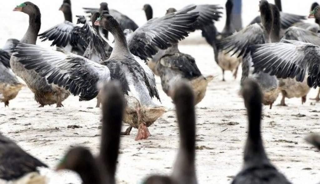 Rengeteg gazdát érint a madárinfluenza