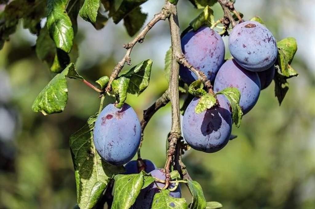 Veszélyben a jövő évi gyümölcstermés