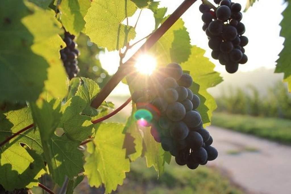 A szőlőárakban is érezhető lesz az áprilisi fagyok hatása