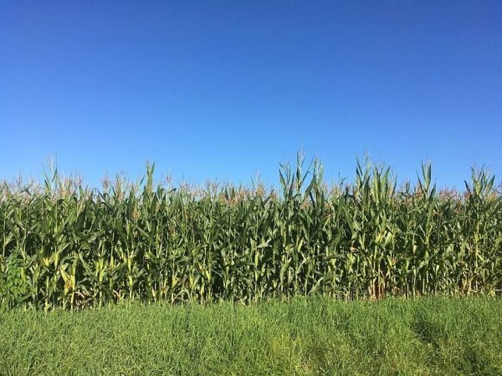 A perzselő nyár előre hozta a kukorica betakarítását