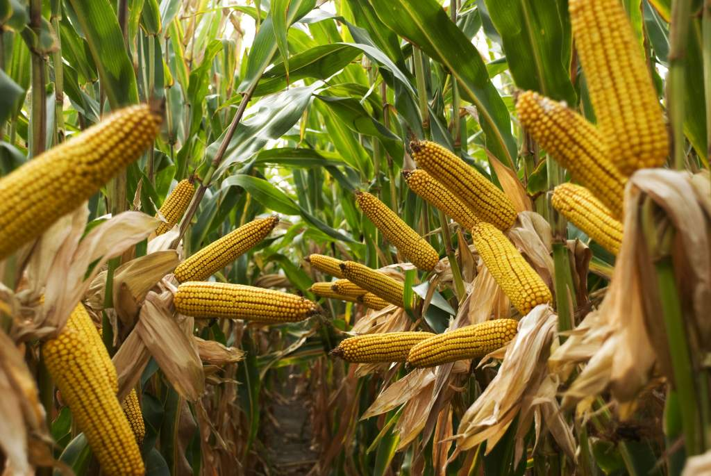 Kevesebb lesz a kukorica, megfogyatkozhatnak a készletek