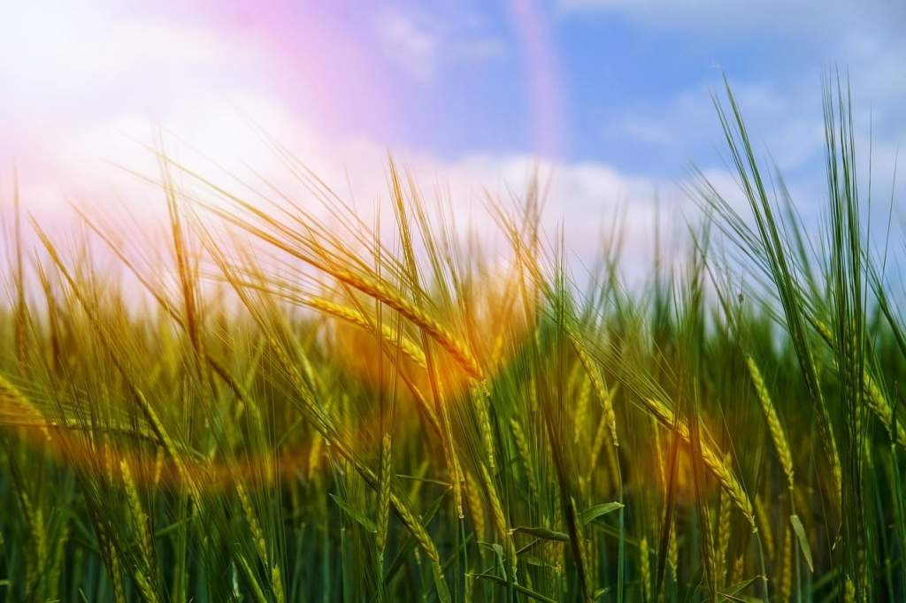 Alacsonyabb gabonatermés várható idén