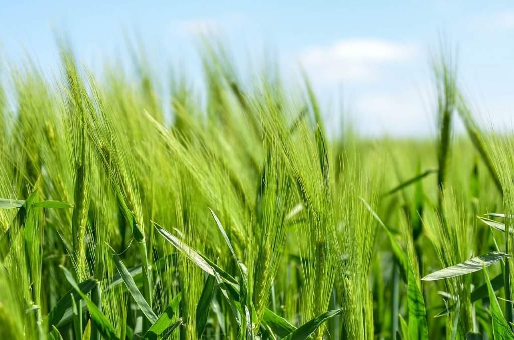 Kukoricából és napraforgóból is rekord évünk lehet