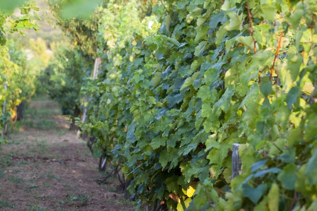 Jó évjáratú borok születhetnek