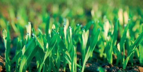 Jól viselték a fagyokat a szántóföldi növények